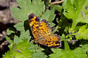 small butterfly - Phyciodes tharos