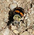 Tomentose Burying Beetle - Nicrophorus tomentosus