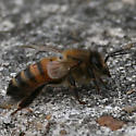 A chilly honey bee for SC in May - Apis mellifera - female