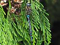 Dragonfly - Aeshna palmata