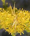 Misumenoides formosipes - Whitebanded Crab Spider? - Misumenoides formosipes