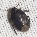 Burrowing Bug - Pangaeus bilineatus