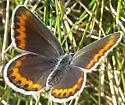 Female Orange Bordered Blue - Plebejus melissa - female