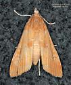 Crambidae ? - Elophila gyralis - female