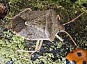 Euchistus? E. servus or E. variolarius