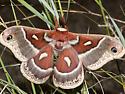 Columbia Silkmoth - Hyalophora columbia