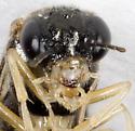 Sawfly - Acordulecera