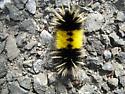 Moth caterpillar? - Lophocampa maculata