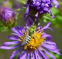 Metallic Green Bee (Agapostemon ?) male ? - Agapostemon - male