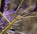 large stick-like mantis - head dorsal - Brunneria borealis - female