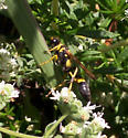Black-and-Yellow Mud Dauber? - Sceliphron caementarium