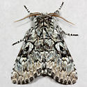The Laugher - Hodges#9189 - Charadra deridens - male