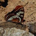 Unknown Lepidoptera - Limenitis lorquini