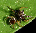 Jumping Spider - Zygoballus rufipes - male