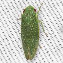 Gyponinae Leafhopper - Rugosana querci