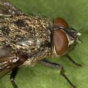 Fly IMG_3189 - Pollenia
