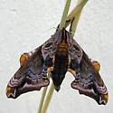 Maybe sphinx moth? - Paonias myops