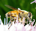 Fly With Bee Colors - Eristalis tenax - male
