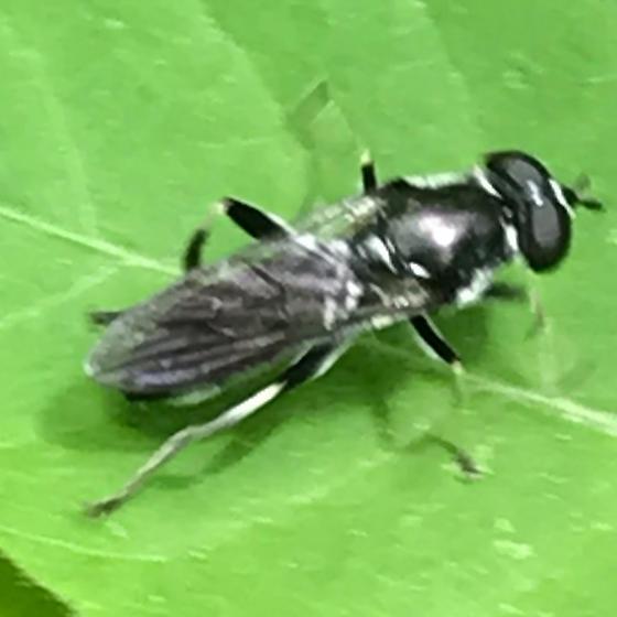 Xylota angustiventris - female