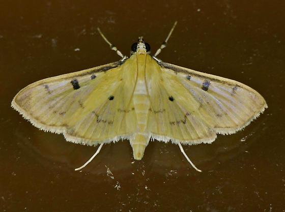 Texas SE Gulf Coast - Lygropia tripunctata - female