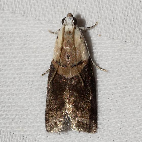 moth - Acrobasis