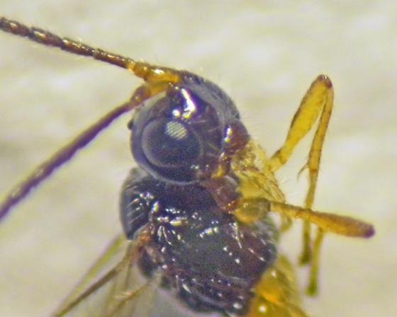 Hymenoptera - Braconidae? - Orthostigma