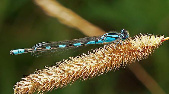 Zygoptera - Enallagma carunculatum - male
