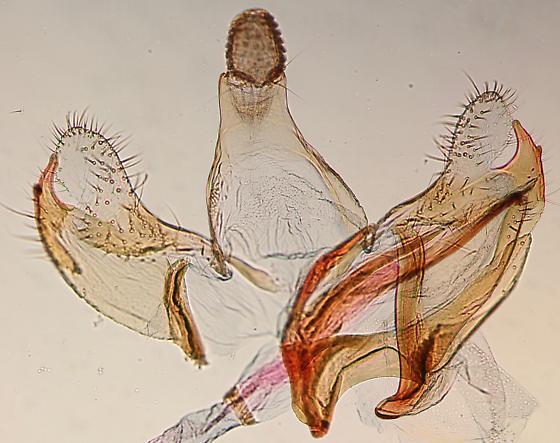 Coleophora sp. - male