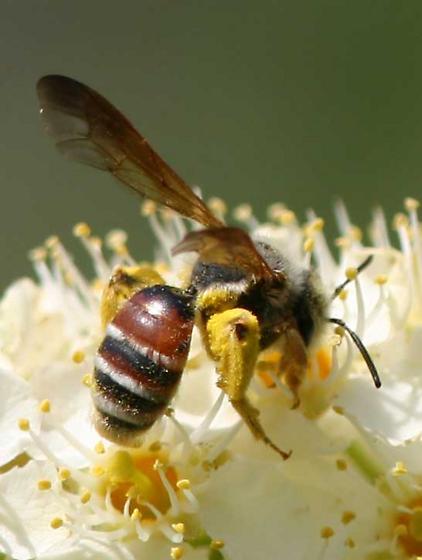 Andrena - Andrena prunorum - female