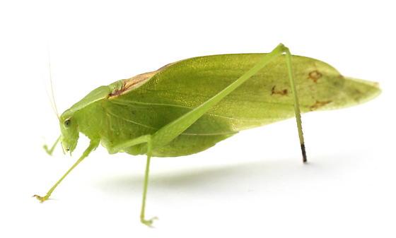 Amblycorypha oblongifolia - male