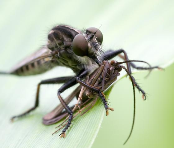 Cannibalfly? - Efferia apicalis