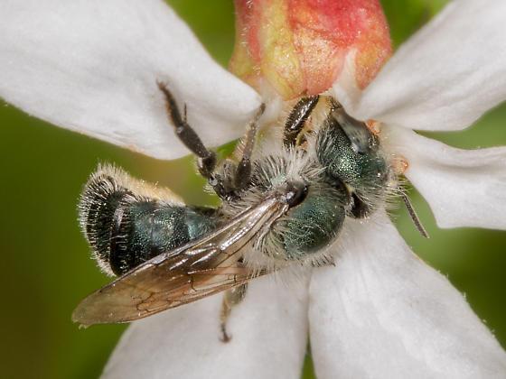 Mason Bee  - Osmia - female