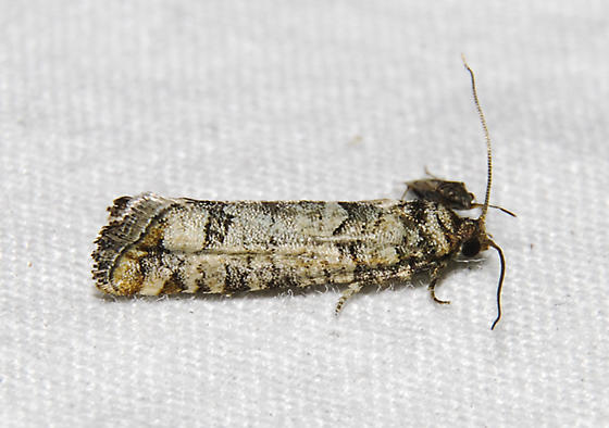 possible- Douglas-fir Cone Moth   - Barbara colfaxiana