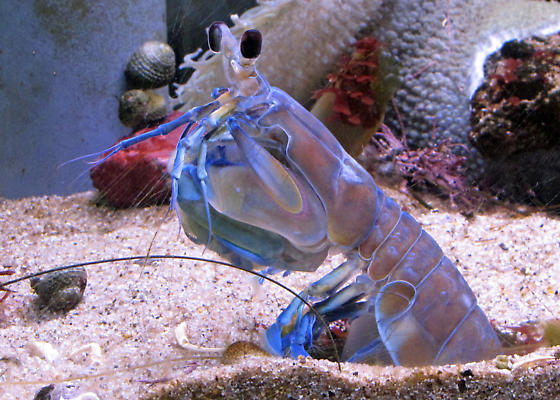 Mantis shrimp - Hemisquilla ensigera californiensis