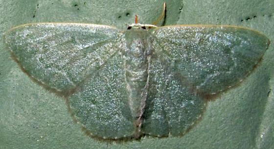 Southern Emerald - Synchlora frondaria? - Chloropteryx paularia - female