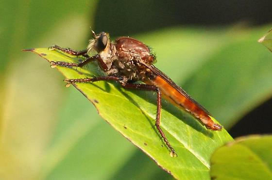 is this Asilus sericeus? - Proctacanthus rufus - male