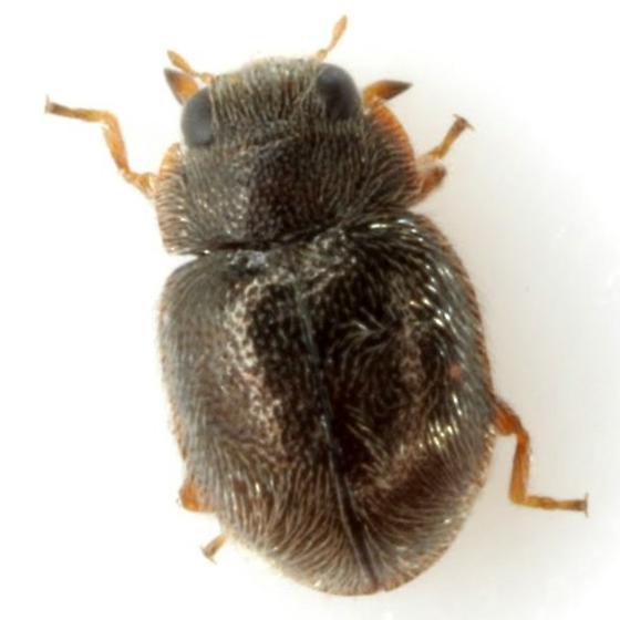 Cephaloscymnus sp. - Cephaloscymnus occidentalis
