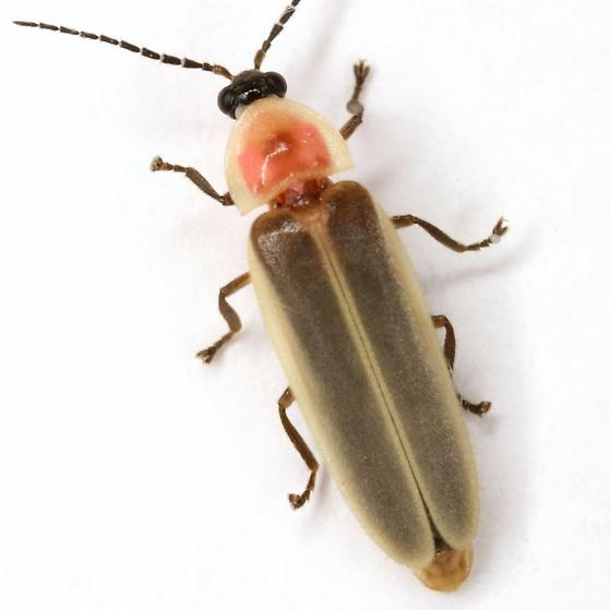 Photinus marginellus/curtatus complex - Photinus