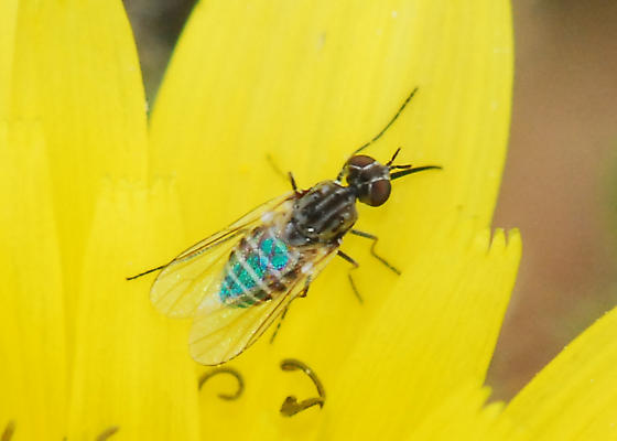 Still another striped fly from Peters Canyon  - Apolysis