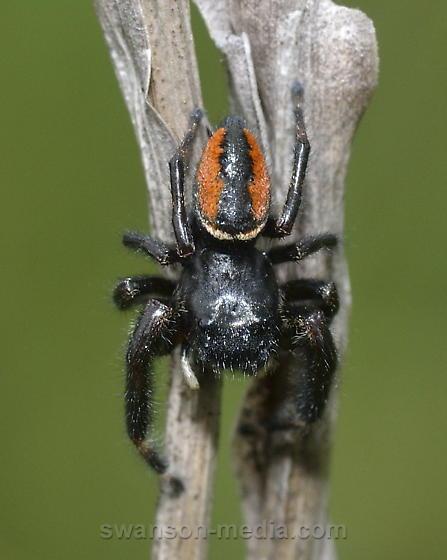Jumping Spider - Phidippus clarus - male