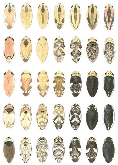 meadow spittlebugs color varieties - Philaenus spumarius