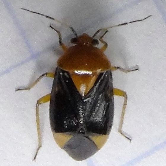 Plant Bugs (Miridae)?  - Neocapsus cuneatus