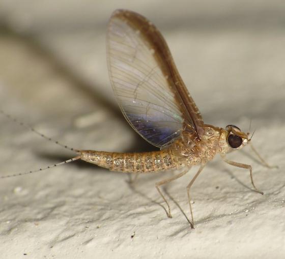 Mayfly - Callibaetis floridanus - female