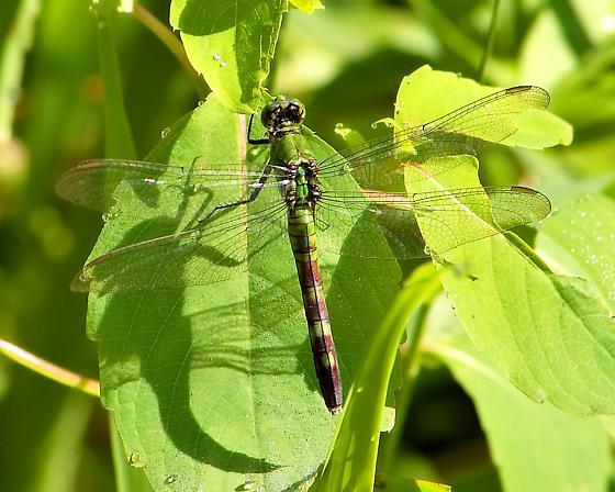 Eastern Pondhawk ?? - Erythemis simplicicollis - female