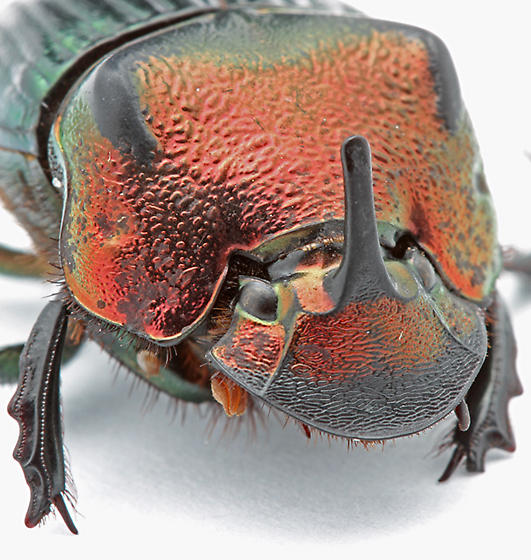 Phanaeus igneus from dung trap in scrub habitat - Phanaeus igneus - male