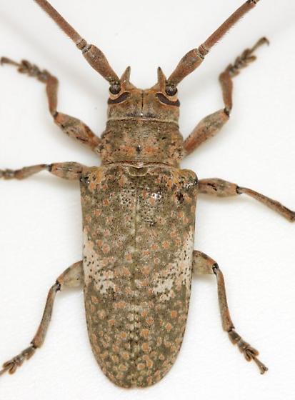 Lochmaeocles cornuticeps cornuticeps (Schaeffer) - Lochmaeocles cornuticeps - male