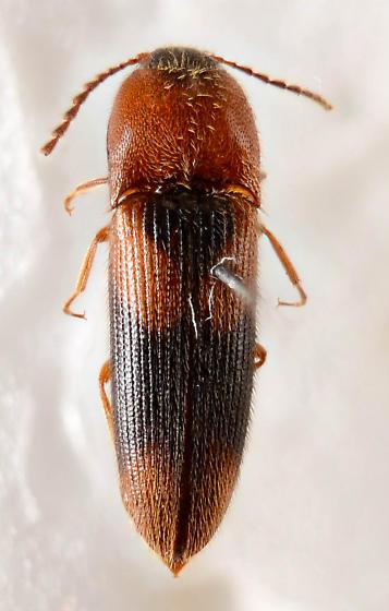 An Aeolus? - Ampedus areolatus
