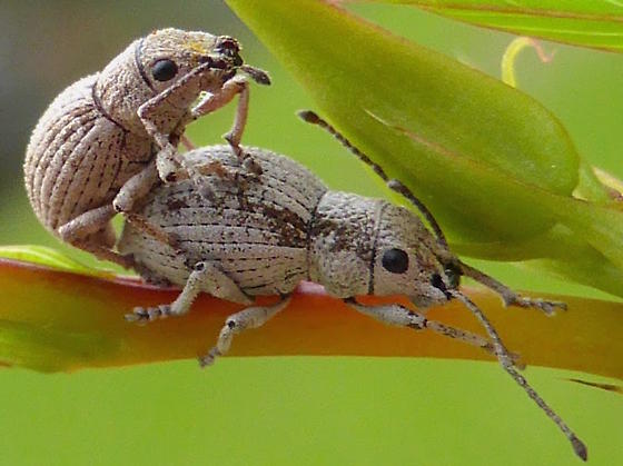 Weevil Mating Event - Neoptochus adspersus - male - female
