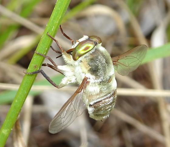 Nemestrinidae - Neorhynchocephalus volaticus