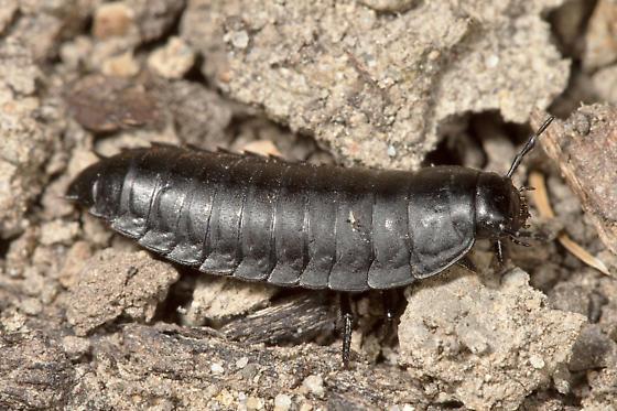 Carrion Beetle Larva Heterosilpha Bugguide Net